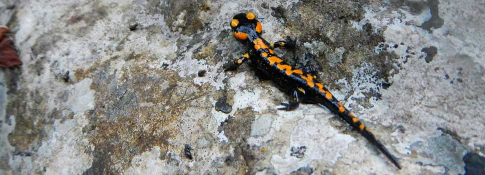 Vuursalamander in de canyon